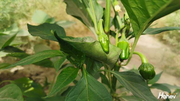 辣椒追什么肥效果好?
