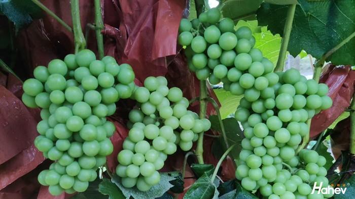 葡萄转色用什么肥料好?