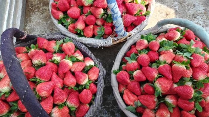 草莓用什么水溶肥好?张大哥帮您选择