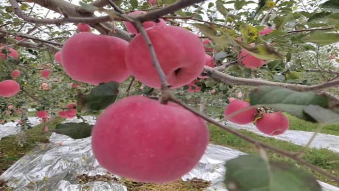 钙肥,果树所需养分,你找对了吗?