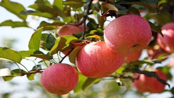 海餐沃 苹果施肥