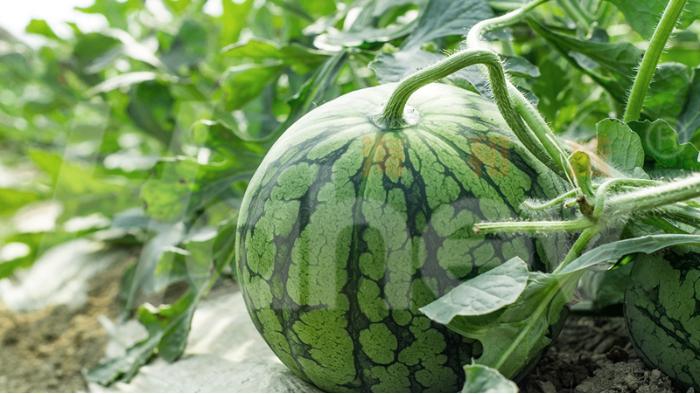 种西瓜用什么肥料又大又甜?李大叔告诉你
