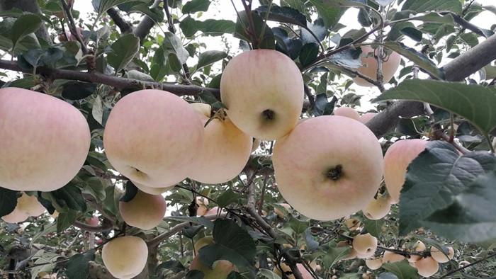 水溶肥厂家告诉你,苹果用什么肥好