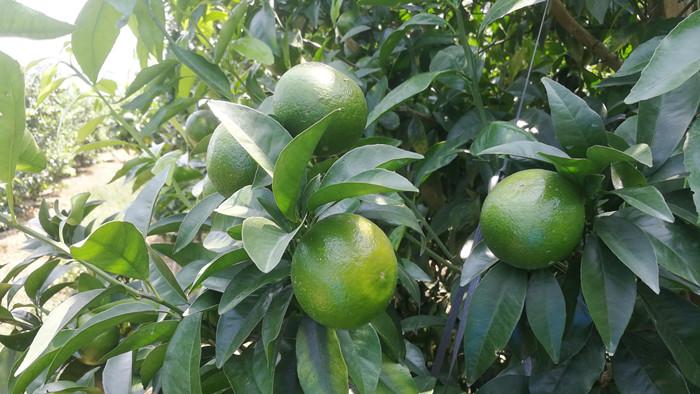 微生物菌剂厂家告诉你,微生物菌剂对沃柑生长有什么好处?