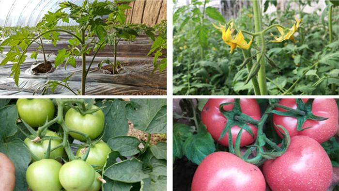 种番茄用什么肥好