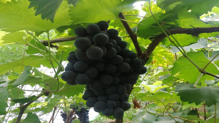 葡萄用什么肥料好