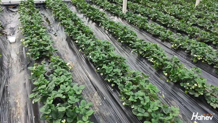 水溶肥品牌-草莓