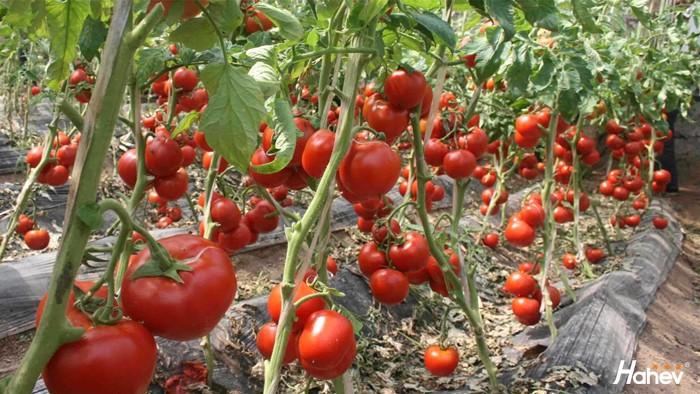冬季大棚如何升温?大棚蔬菜用什么肥好?