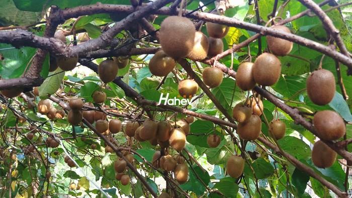 猕猴桃用什么肥?施肥时需要注意什么?