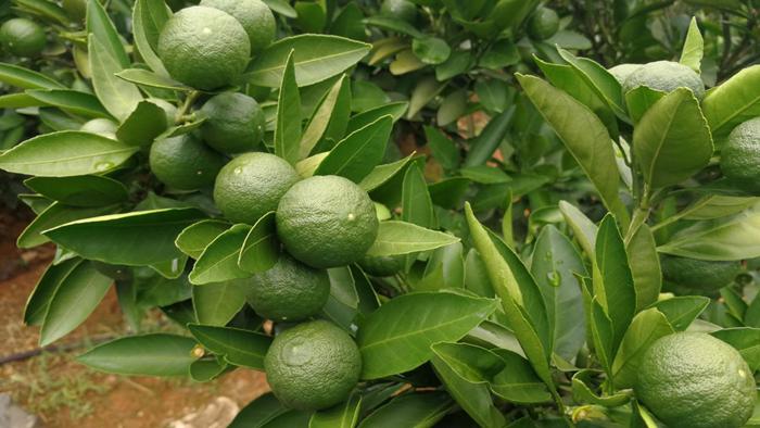 大量元素水溶肥-柑橘