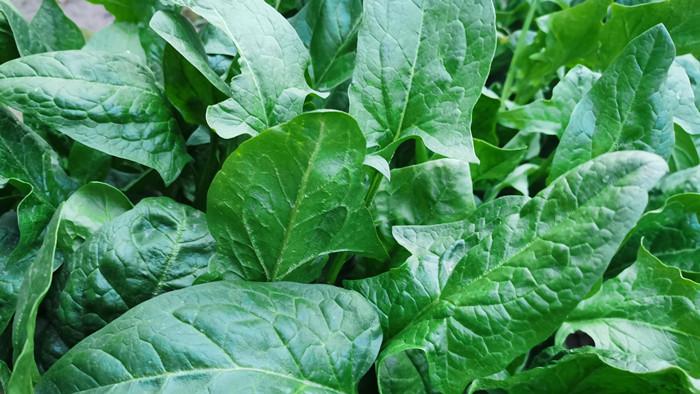 种菠菜施什么肥好?