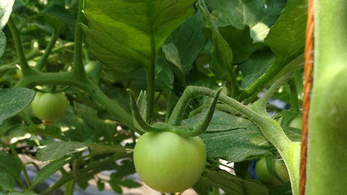 西红柿追肥用什么肥料好?