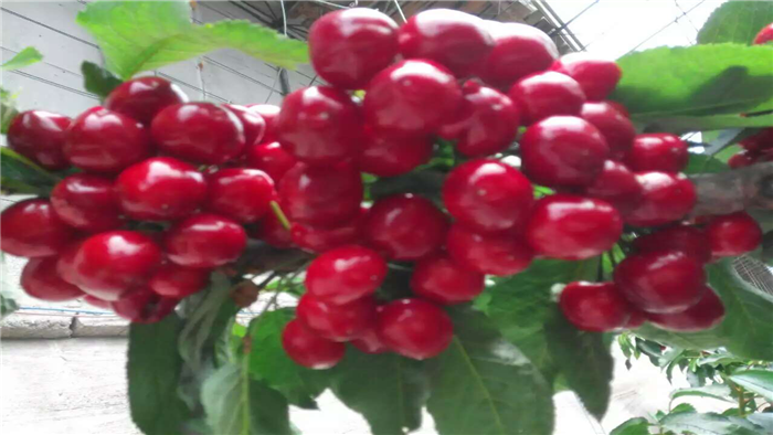 樱桃用肥 海餐沃