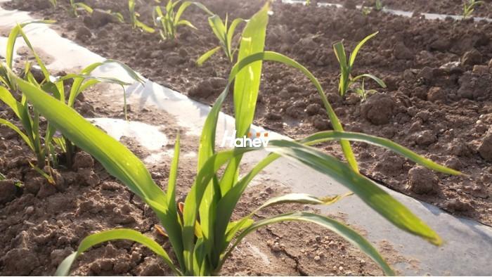 玉米叶面肥-玉米-缩