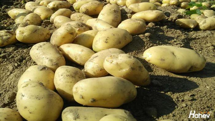 种土豆用什么肥能高产?