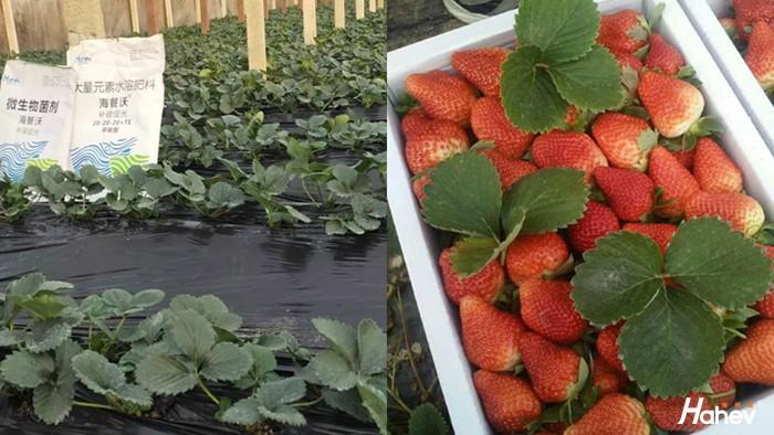 水溶肥-草莓