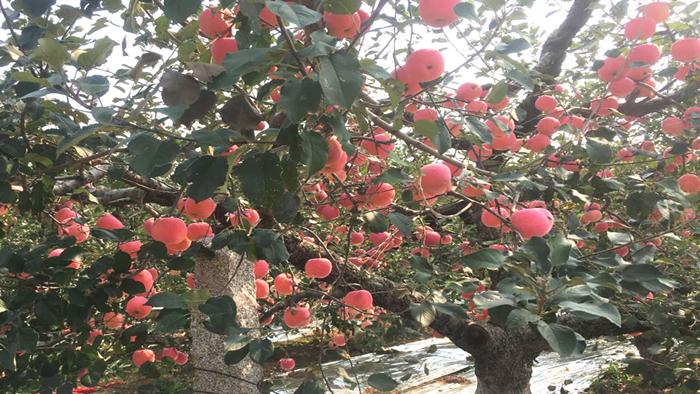 海餐沃钙肥-苹果