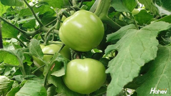 大棚西红柿如何施肥