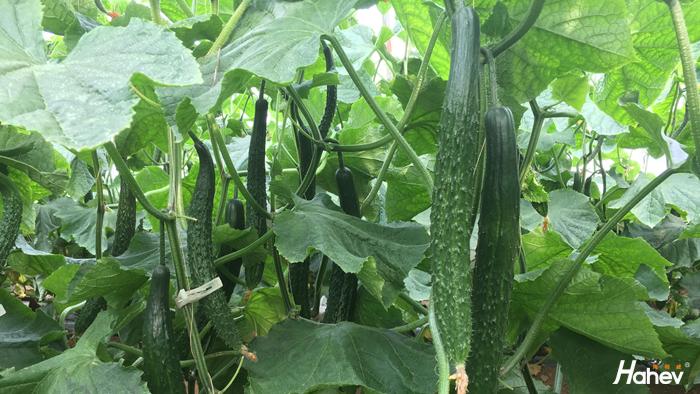 黄瓜用什么肥料产量高?向大叔用他家的肥产量高