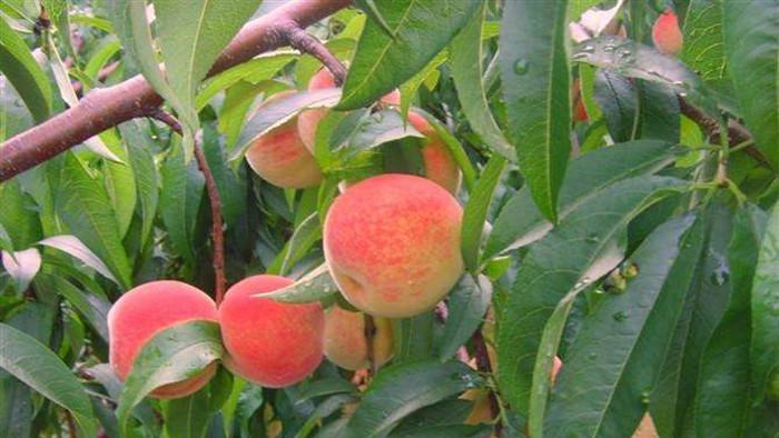 桃树膨大期施什么肥?赵总看好海餐沃