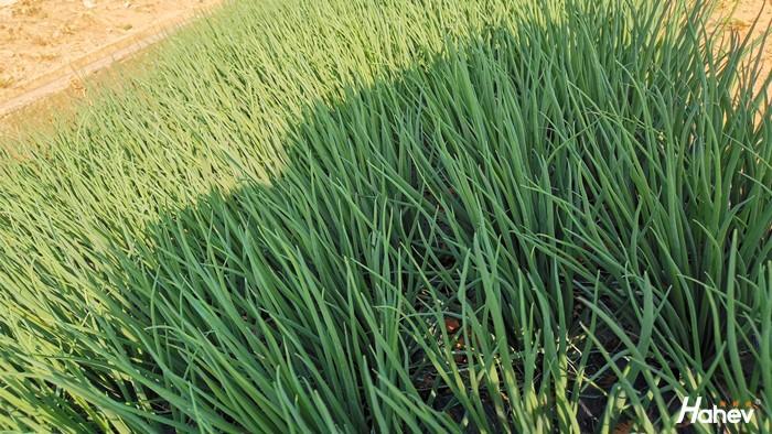 大葱用什么肥料长得快?