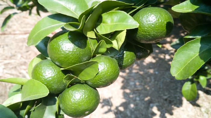 单一元素硼肥-柑橘