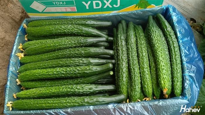种蔬菜用什么肥料好,李大姐家黄瓜这样施肥
