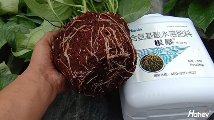 生根剂-绿萝