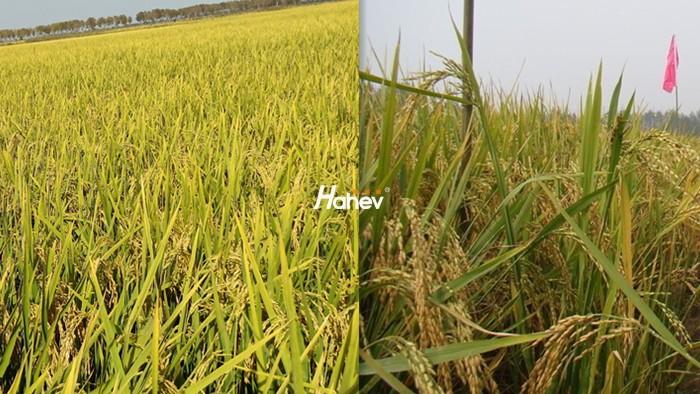 水稻专用肥,齐大哥这样选
