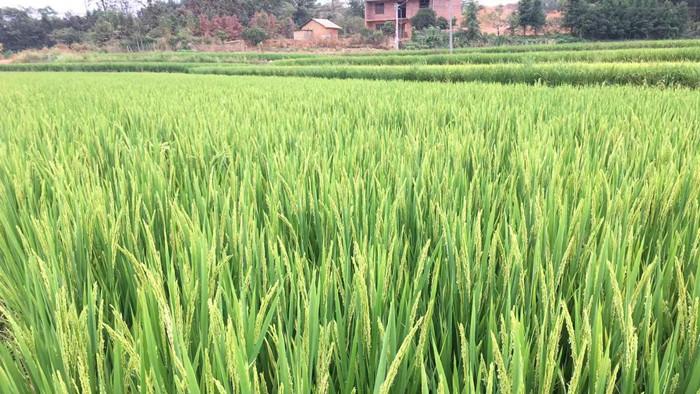 水稻怎么用磷酸二氢钾