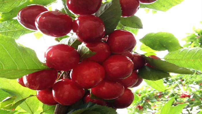 冲施肥-樱桃