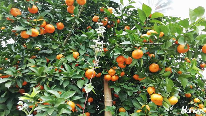 柑橘膨果施什么肥料好?方大哥帮你选肥
