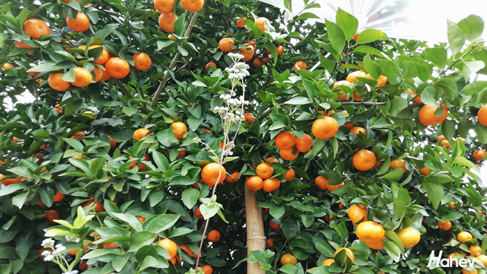 柑橘膨果施什么肥料好?
