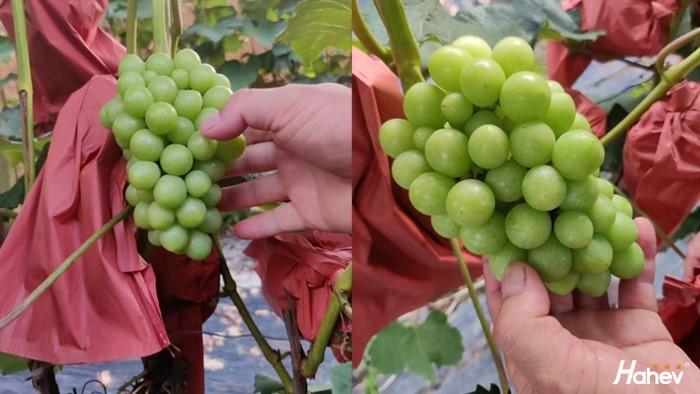 葡萄冬季施什么肥料好?