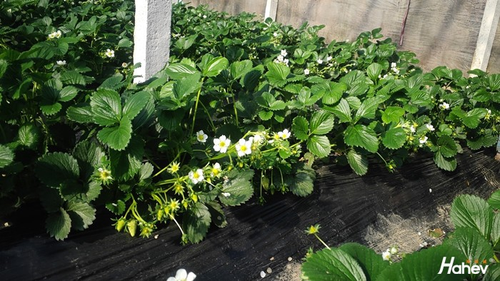 草莓需要什么肥料?看了这篇文章就知道