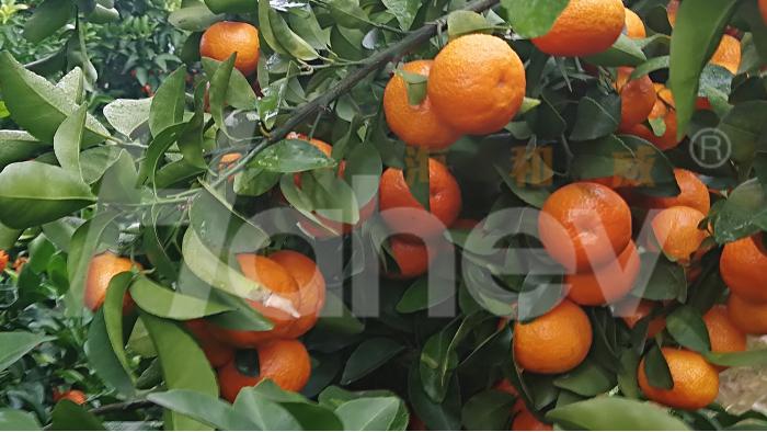 柑橘专用肥,苏大哥帮你选