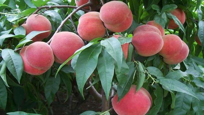 桃树施肥 海餐沃