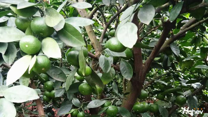 柑橘用什么肥料增甜?岳大哥选择海餐沃