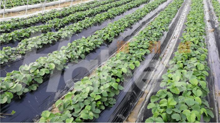 草莓定植用什么肥?