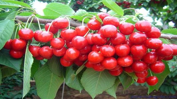 樱桃如何大丰收,春季管理很重要