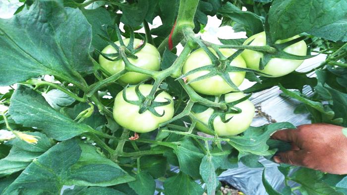 水溶肥在西红柿上的管理方法