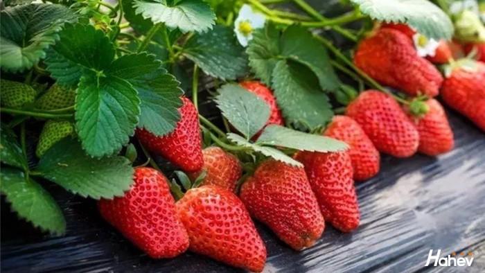 大棚草莓用什么肥料,怎么施肥好?
