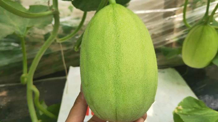 水溶肥-香瓜