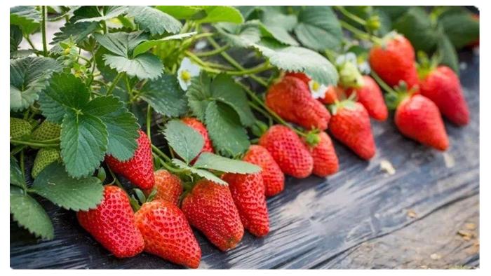 草莓用什么肥料好