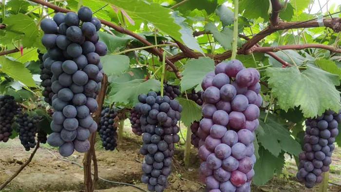 葡萄施什么肥料好