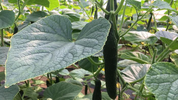 进口叶面肥哪个品牌好?在黄瓜上有何作用