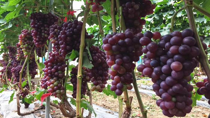葡萄生长需要什么肥料