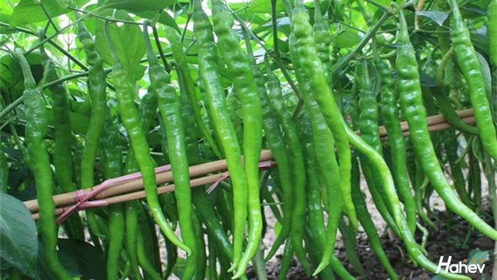 线椒用什么肥料好