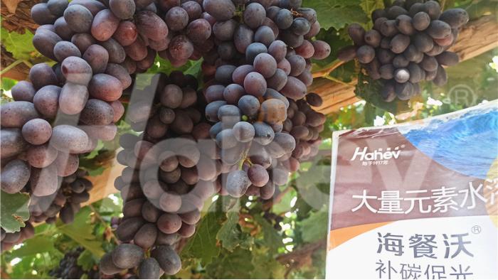 葡萄转色期用什么肥料好?