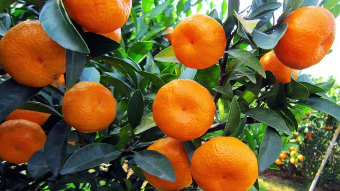 颗粒水溶肥-柑橘